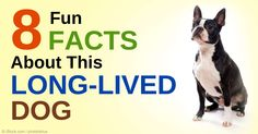 The Boston Terrier, which is not considered a terrier by the AKC, holds the distinction of being the first non-sporting dog bred in the US. http://healthypets.mercola.com/sites/healthypets/archive/2015/02/27/boston-terrier.aspx