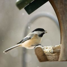 Black-Capped Chickadee: tips for attracting song birds to your winter garden.  Here's a quick rundown of the most common backyard birds and their favorite things to eat. http://www.bhg.com/gardening/design/nature-lovers/attract-birds-in-winter/#page=1