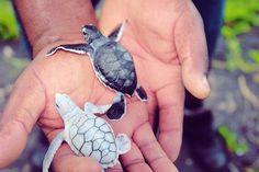 Baby albino sea turtle.