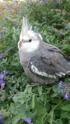Fluffed cockatiel in flowers, very cute