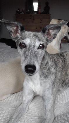 a lurcher probably greyhound saluki cross roo pinterest beautiful the o jays and lurcher