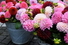 pink dahlia series at flower market Lizenzfreies Foto