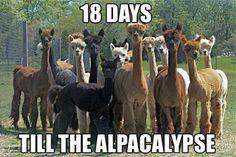 alpacas, haha.