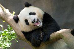 panda laughing