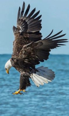 Pigargo americano - Bald Eagle - Weißkopf-Seeadler - Pygargue à tête blanche Eagle Images, Eagle Pictures, Bird Pictures, Animal Pictures, Beautiful Birds, Animals Beautiful, Eagle Wallpaper, Eagle Bird, Colorful Birds