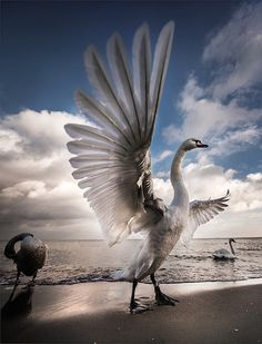 Swan stretching its wings Fast Crazy Nature Deals. Pretty Birds, Love Birds, Beautiful Birds, Animals Beautiful, Cute Animals, Beautiful Swan, Animals Tattoo, Photo Animaliere, Tier Fotos