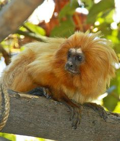 The golden lion tamarin is one of the most prized animals at the Santa Ana Zoo. It's not hard to believe with a beautiful mane like that.