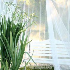 Gladiolus callianthus - tuoksumiekkalilja Kirjasta Rakas puolivilli puutarha - Linda Peltola