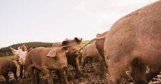Cómo criar cerdos para obtener utilidad en una pequeña granja