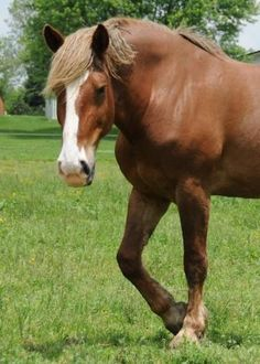 Athena is an adoptable Belgian Horse looking for a new forever home in Woodbine, MD!
