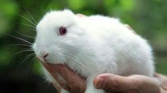 Earless bunnies were born in Japan after the Fukushima nuclear disaster.  Very sad.