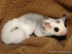 Vanessa is a lovely white face blonde mosaic who may even be a piebald!  Click through for more information about buying her.
