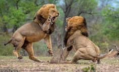 Battle to be the lion king: Predators in brutal fight over who will lead their pride in South Africa Lion Background, Lion Photography, Big Cats Art, Animal Skeletons, Lion Painting, Lion Wallpaper, Cute Animal Memes, Lion Pictures, Male Lion