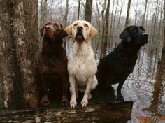 Labrador Hund Foto