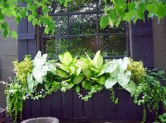 Window boxes are not just for sunny locations. The caladiums, dieffenbachia, and yellow coleus in this boxlight up a very shady spot. The trailing licorice is surprisingly tolerant of shade. Window boxes are not just for Window Box Plants, Fall Window Boxes, Window Box Flowers, Window Planter Boxes, Flower Boxes, Planter Ideas, Container Plants, Container Gardening, Succulent Containers