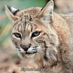 Banshee Bobcat is soooo pretty. Shout Out if you agree! Funny Cats, Funny Animals, Cute Animals, Wild Animals, Big Cat Rescue Tampa, Cat Sneezing, Sand Cat, Serval Cats, Exotic Cats