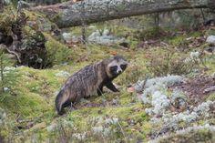 100 päivää luonnossa: Supikoiran kohtaaminen | Suomen Luonto
