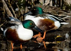 Northen shoveler male. Anas clypeata. Com. WV, more on fresh than salt water; SR in marshes, com. east, very local west.