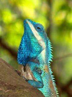 Blue-crested Lizard (Calotes mystaceus) male