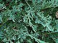 Juniperus horizontalis - Wikipedia, the free encyclopedia