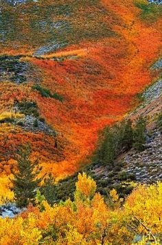 avalanche of orange autumn fall foliage flowing down a Sierra mountainside by misty