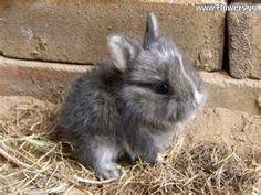 baby grey bunny
