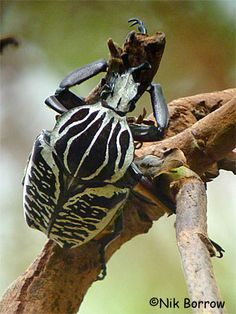 . Goliath Beetle, Beetles, Animals, Animales, Animaux, Animal, Animais