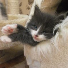 The person wrote: My new little baby Lady Bluebell she's a Norweigian Forest cat x