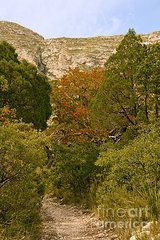 Texas Madrone Art - McKittrick Canyon Trail  by Bob Phillips