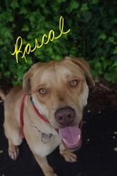 515// Rascal//6 is an adoptable Labrador Retriever Dog in Youngstown, OH. CONTACT: stoohey@mahoningcountyoh.gov � Available: june 25th �Hello My name is Rascal I'm a gentle giant that was found on the...