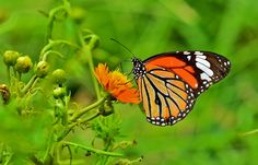 COMMON TIGER BUTTERFLY Camera - NIKON D7000 Lens - AF-S NIKKOR 300mm F/4 D IF-ED SWM Place - BARRACKPORE, WEST BENGAL, INDIA