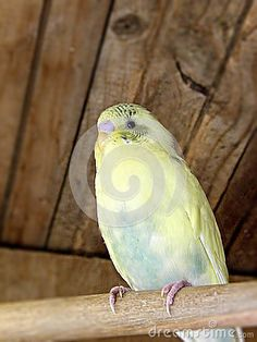 A close-up view of a cream green and yellow pied fledgling budgie in an aviary.