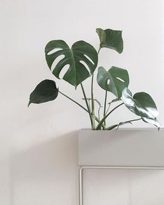 This Plant box is elegant and timeless on its delicate and thin legs in powder coated metal. Use it for everything from plants to your favourite books and place it all around the house. Available in four contemporary colours online at fermliving.com #regram @septemberedit #fermliving #plantbox #plant #monstera #green #greenliving #interior #design #danish #scandinavian #style