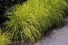 Carex dolichostachya 'Kaga-nishiki' GOLD FOUNTAINS Common Name: sedge  Height: 0.50 to 1.00 feet Spread: 1.00 to 1.50 feet Sun: Part shade to full shade