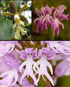 Funny Flowers - The little boy, Laughing devils, Naked men.  Man orchids ~ Orchis anthopophora - grow naturally at Cheesefoot Head in southern England