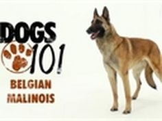 dogs 101 - Belgian Malinois. this will be my next dog. down the road, obvi.