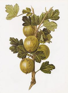 Gooseberries....we had several gooseberry bushes and I remember spending time picking these for Mom. Also, there is a dried flower residue that you have to take off ( cleaning ) before you make soup or pie from them.