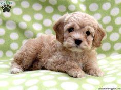 teacup cockapoo puppies for sale | Zoe Fans Blog