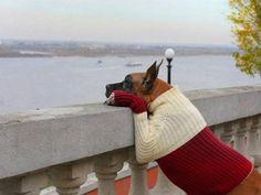 .Great Dane in a sweater