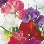 Sweet Pea Seeds - Suttons Giant Waved Mixed: A blend of long-stemmed, fragrant varieties in a range of attractive colours. Sweet Pea Seeds, Sutton Seeds, Giant Waves, Rose, Garden, Flowers, Plants, Sweet Peas, Pink