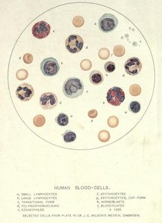 vintage blood cell chart