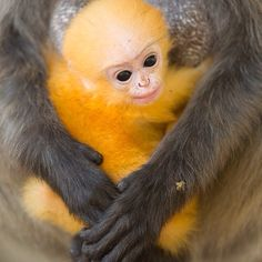 Photo by @stefanounterthiner. In#Thailandphotographing a rare#primate, the dusky leaf-monkey (Trachypithecus obscurus). The#newbornhas a bright orange pelage - the infant pelage begins to darken at one month of age. The dusky leaf-monkey lives in the countries of Myanmar, Malaysia and Thailand.@Natalie Jost Jost JostBrewer @thephotosociety