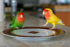 Most Colorful And Prettiest Pet Birds in The World  Peach-faced Lovebirds (Agapornis roseicollis)