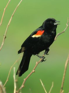 """June asked, """"What's the name of that black bird with the red wings called?"""" """"A Red Winged Black Bird"""" answered her sister, Jean."""