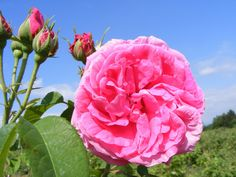 Bulgarian rose from the Trakia Valley. The rose is one of the brightest symbols of the country as the rose oil extraction is one of the most developed industry in Bulgaria.