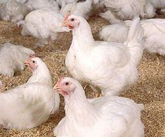 Chickens to benefit from biofuel bonanza