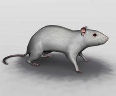 Anatomia Externa do Rato