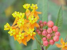 Asclepias_curassavica13  Butterfly weed  Rushing book