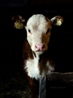 one cow. An cow. Farm Animals, Animals And Pets, Cute Animals, Wild Animals, Cow Pictures, Animal Pictures, Cow Pics, Fluffy Cows, Show Cattle