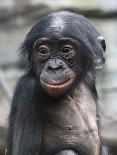 Junger Bonobo / Zwergschimpanse / Young Pygmy Chimpanzee (Pan paniscus) Zoo Frankfurt (Germany), January 2011 Any unauthorized use of this photo is strictly prohibited. Primates, Cute Baby Animals, Animals And Pets, Funny Animals, Mundo Animal, My Animal, Cute Monkey, Baboon, Tier Fotos